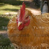 macn103_chicken.jpg