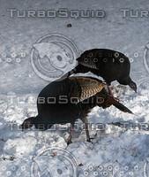 macn105_turkeys.jpg