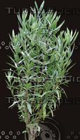 oleander01.jpg