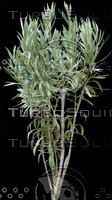 oleander2.jpg