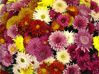 FLOWER CHRYSANTHEMUM 01