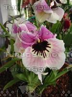 Miltonia Pansy Orchid 2.JPG