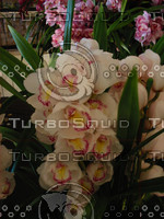 Orchid Cym Lucky Crystal,