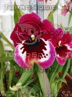 Single Pansy Orchid.JPG
