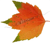 leaf_0725.png
