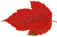 leaf_0727.png