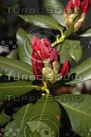 macn005_Rhododendron.jpg