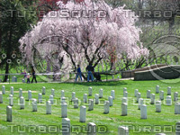 Cherry tree at Arlington.jpg