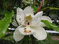 Magnolia with bees.JPG