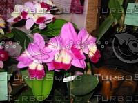 Orchid Lc Mari