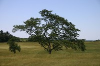 Valley Forge tree.JPG