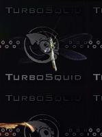 chrysopa-pallens-in-flight.jpg