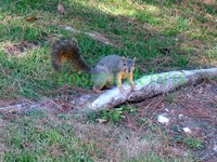 squirrel 1913.jpg
