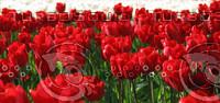 tulip field.jpg
