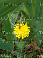 Bee on a Milkweed