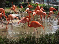 Orient 855 Flamingos at Ueno zoo.JPG