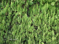 bush conifer.JPG
