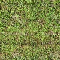 Grass with Clover