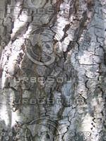 Alder bark 904.JPG