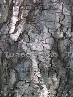 Alder bark 905.JPG