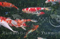 Koi Fish Japanese 01.JPG