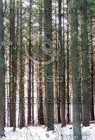Straight_trees.jpg