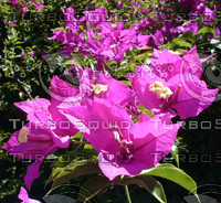 stock_photo_flower18_bySentidos.JPG