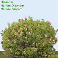 Oleander 2,2m - High Resolution
