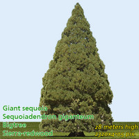 Giant Sequoia High Resolution.psd