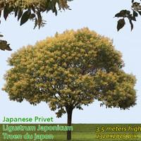 Japanese Privet Tree Texture ----------------- High Resolution