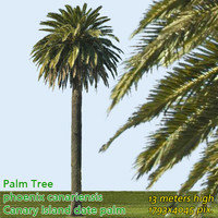 Canary Date Palm 15m - High Resolution