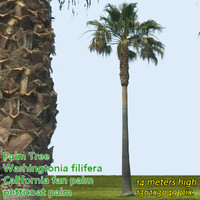 California Fan Palm 14m - High Resolution