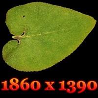 Highres Leaf Texture (diffuse - alpha - bump)