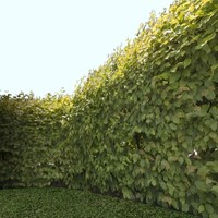Hop hornbeam - High Resolution