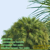 European fan palm 2.5m --------------------- High Resolution