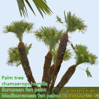 European fan palm 6m - High Resolution