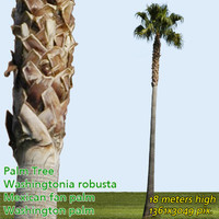 Mexican Fan Palm 18m - High Resolution