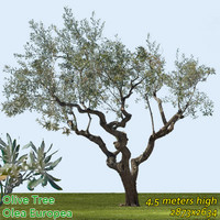 Olive Tree 4.5m - High Resolution