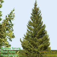 Norway Spruce Tree 13m --------------------- High Resolution