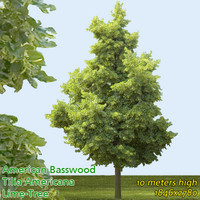 American Basswood 10m -------------------- High Resolution