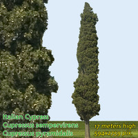 Italian Cypress 17m - High Resolution