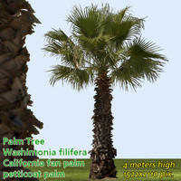 California Fan Palm 4m - High Resolution