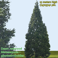 Dawn Redwood - High Resolution