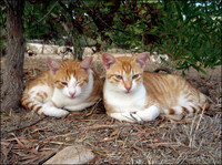 Twin red  stribed cats