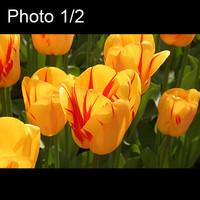 2x Tulpen