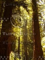 Roaring Camp Railroads - Sunny Redwood