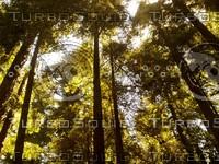 Roaring Camp Railroads - Redwoods