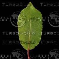 Willow Leaf 3400 x 3400