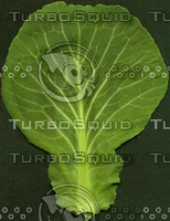 Cabbage-leaf-TOP.jpg