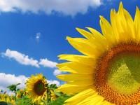 ws_Great_sunflower_1024x768.jpg